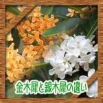 金木犀と銀木犀の違いに英語でいうと?花言葉の由来に咲く時期は?