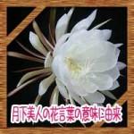 月下美人の花言葉の意味に由来!英語名や花の食べ方など