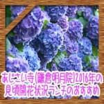 あじさい寺(鎌倉明月院)2016年の見頃開花状況!ランチのおすすめ!