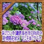 あじさい寺(鎌倉長谷寺)2016年の見頃開花状況!ランチはこちらで