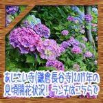 あじさい寺(鎌倉長谷寺)2017年の見頃開花状況!ランチはこちらで