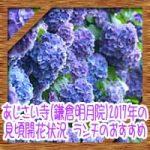 あじさい寺(鎌倉明月院)2017年の見頃開花状況!ランチのおすすめ!
