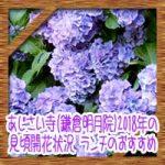 あじさい寺(鎌倉明月院)2018年の見頃開花状況!ランチのおすすめ!