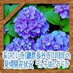 あじさい寺(鎌倉長谷寺)2018年の見頃開花状況!ランチはこちらで
