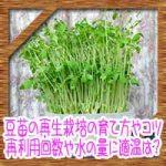 豆苗の再生栽培の育て方やコツ!再利用回数や水の量に適温は?